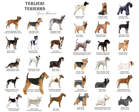 types of terrier dogs types of terriers breeds picture