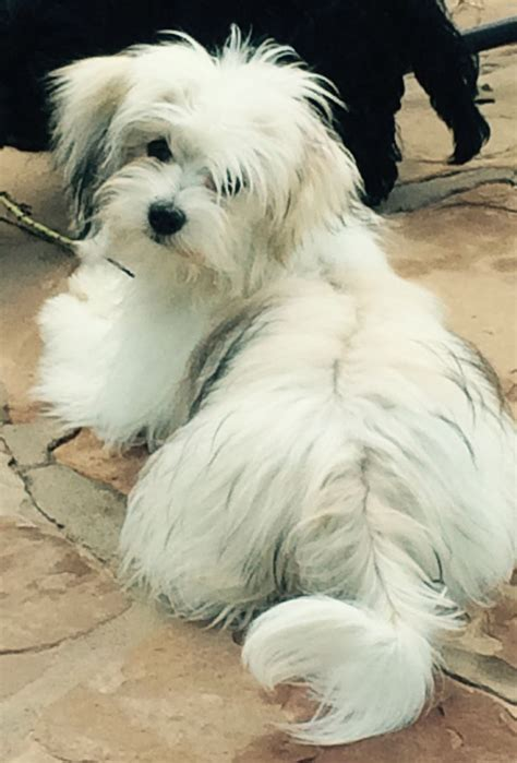 havanese for sale in 598 best havanese if you images on pets animals and cat