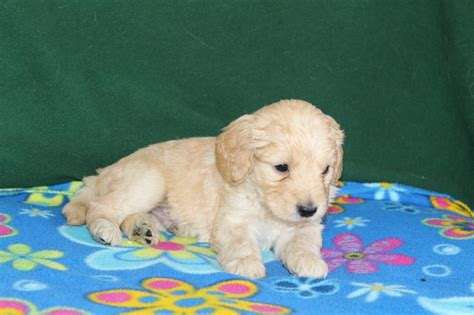 goldendoodle puppy care tips 152 best images about f1b mini goldendoodles on