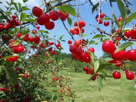 Cherry Orchards In Door County Wi by 17 Best Images About Travel Wisconsin On