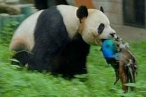 what do giant pandas eat? quora