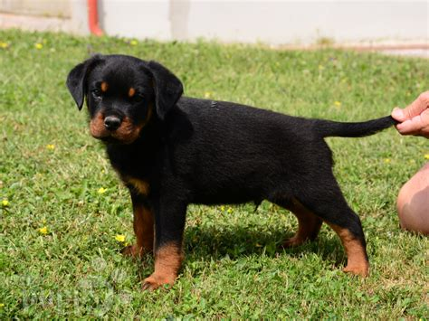 where to find rottweiler puppies brawny rottweiler puppy for sale puppy