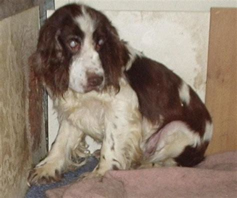 Do Springer Spaniels Shed by Boots 13 Year Springer Spaniel For