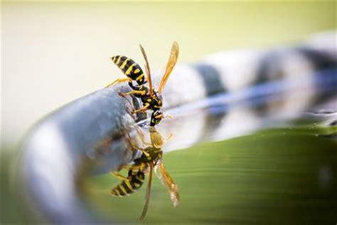 wespen im garten vertreiben wespen im garten vertreiben verhaltensregeln