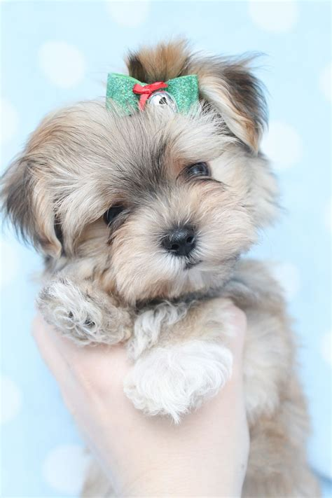 maltese yorkie puppies chicago the 25 best teacup puppies ideas on teacup