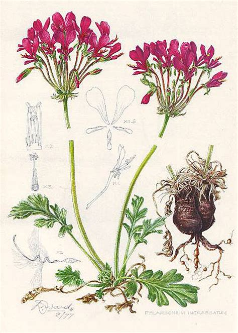 pelargonium club