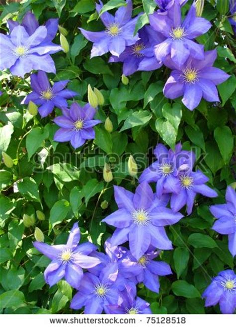 climbing vine purple flowers climbing vine with purple flowers miami beach island home