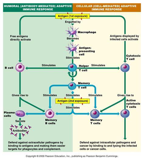 immune system flowchart immune response gallery