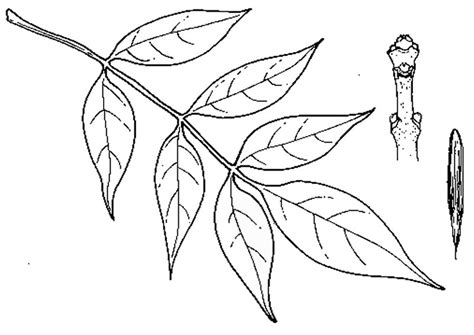 ash leaf coloring page tree coloring pages leaf of leaves ash leaf coloring page
