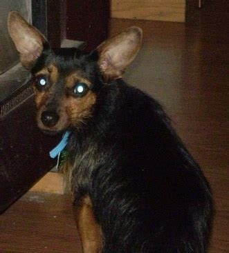 miniature pinscher yorkie miniature doberman pinscher and terrier mix breeds picture