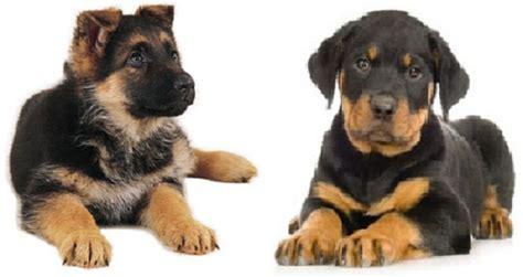 german shepherd and rottweiler puppies german rottweiler and german shepherd mixed puppies german shepherd wallpaper