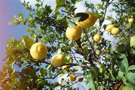 homemade lemon tree fungal pest spray home guides sf