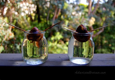 how do you start a in a pit growing avocado plants from seed