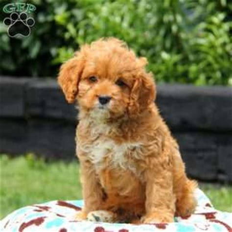 cavapoo puppies for sale in nj cavapoo puppies for sale in de md ny nj philly dc and baltimore