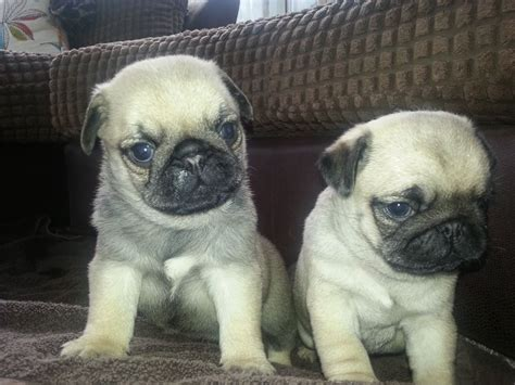 boy pugs for sale gorgeous boy pugs for sale chester cheshire pets4homes