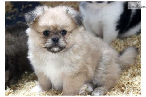 peekapom puppies peek a pom puppy for sale near lancaster pennsylvania 3c95ec6d 4301