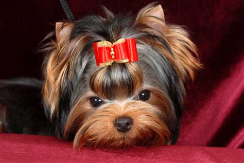 shoo for yorkies photo album for terrier mini shop tamagochi