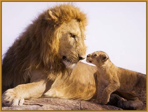 imagenes de leones con sus cachorros imagenes de leones con sus cachorros archivos imagenes