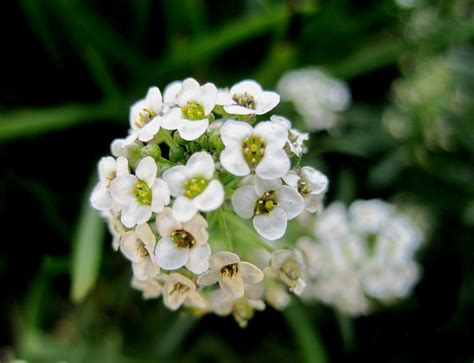 head of small white flower free stock photo public