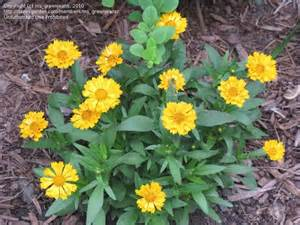 Garden Zone By Zip Code - plantfiles pictures coreopsis tickseed jethro tull coreopsis by ms greenjeans