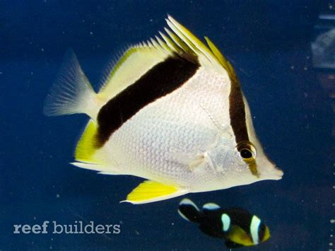 house of fins bluefin lionfish among the awesome rare fish at house of fins annual splash sale news