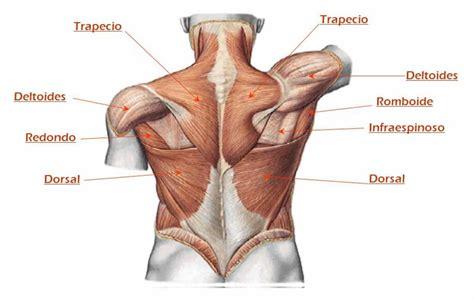 anatoma para posturas de 8415053150 3 ejercicios para espalda con barra y mancuernas