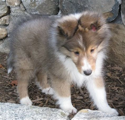 puppies in ct shetland sheepdog puppies for sale in connecticut new shelties