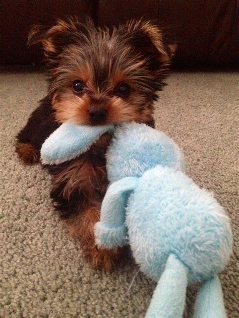 a baby yorkie best 25 yorkie ideas on yorkie puppies teacup yorkie and