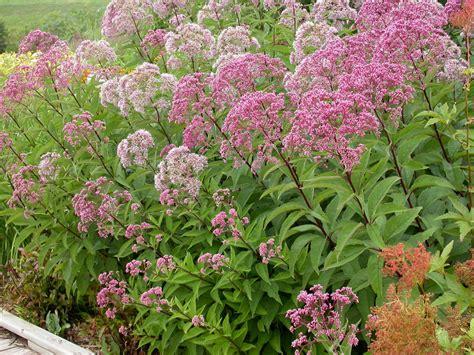 joe pye weed native grimm s gardens