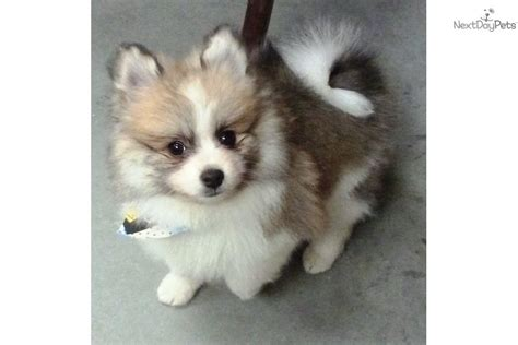 pomeranian puppies sc pomeranian puppy for sale near charleston south carolina a2d46527 fd91