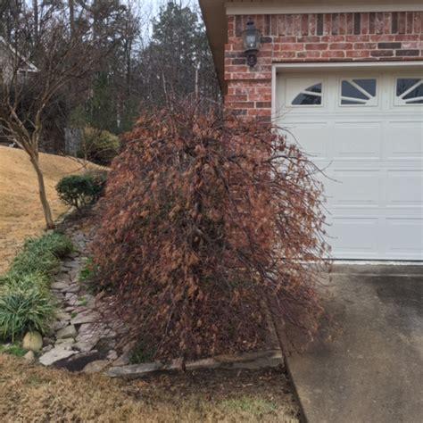 maple tree near house japanese maple