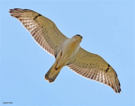 Backyard Birds Ontario 18 Great Places To Watch Hawks This Fall Birdwatching