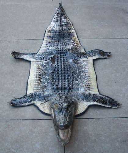 alligator rug reflections taxidermy monett missouri gallery