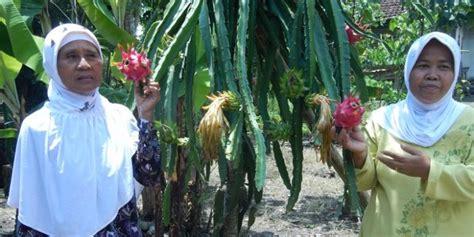 Bibit Buah Naga Di Jawa Timur berkunjung ke sambirejo quot desa buah naga quot di banyuwangi