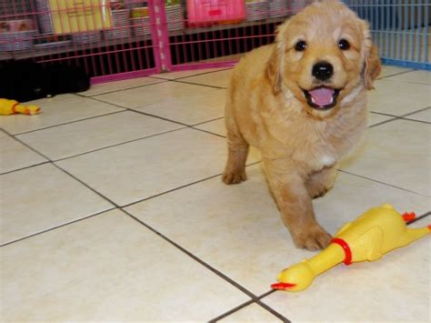 golden retriever baton golden retriever puppies for sale near baton dogs in our photo