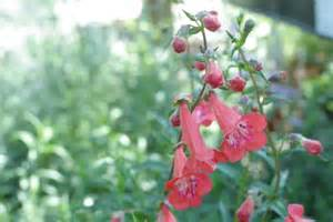 penstemon hybrids sperling nursery gift shop