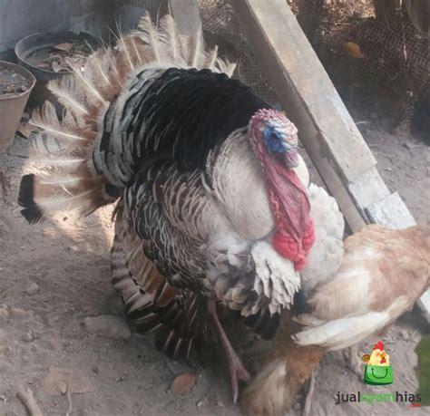 Ternak Ayam Kalkun Jualayamhias jualayamhias ayam kalkun golden palm siap di