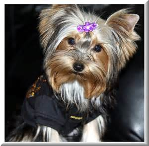 black and gold yorkie pin by carrie on yorkies