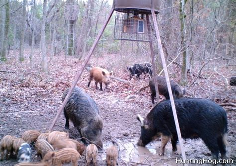 how to your to hunt hogs feral hog tipshog