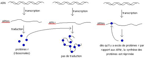r protein operon les op 233 rons