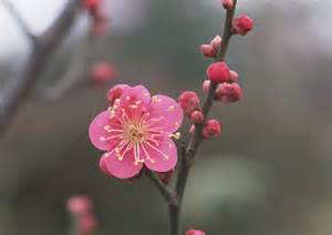 10 beautiful japanese flowers and their meanings tsunagu japan