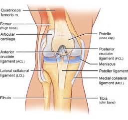 Diagram of knee joint showing pcl
