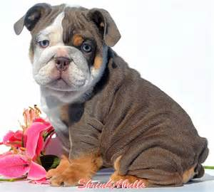 tri color bulldog puppies for sale akc blue tri bulldog puppies for sale purple