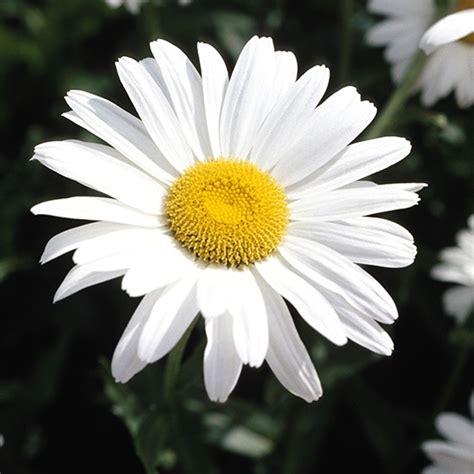 immagine margherita fiore bouquet sposa un segno di stile e raffinatezza sceglierlo