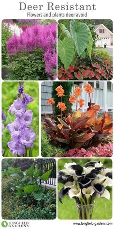 pin by mike wilczynski on deer resistant plants pinterest beautiful deer resistant plants the prettiest annuals