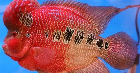 Pakan Ikan Louhan Paling Bagus ternak ikan hias cara ternak ikan louhan paling mudah