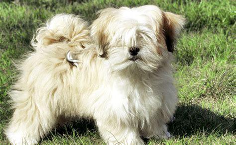 lhasa apso puppy lhasa apso burke s backyard