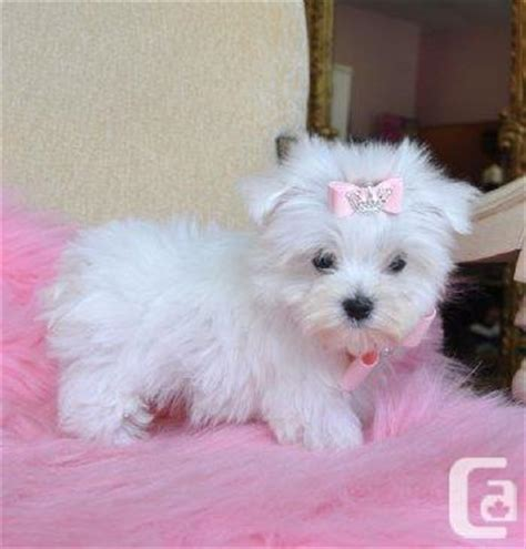 white teacup puppies white teacup puppies www pixshark images galleries with a bite