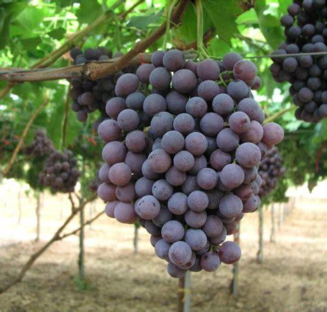 uva da tavola uve da tavola concimi e fertilizzanti per la cura delle