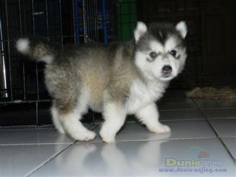 Siberian Husky Jantan dunia anjing jual anjing siberian husky puppy siberian